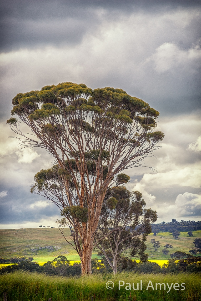 At f11 the lens has bags of resolution and is capable of recording very fine detail. There is no sign of diffraction reducing the image quality. Wandoo tree (white gum) on the outskirts of the Western Australian town of Beverley.