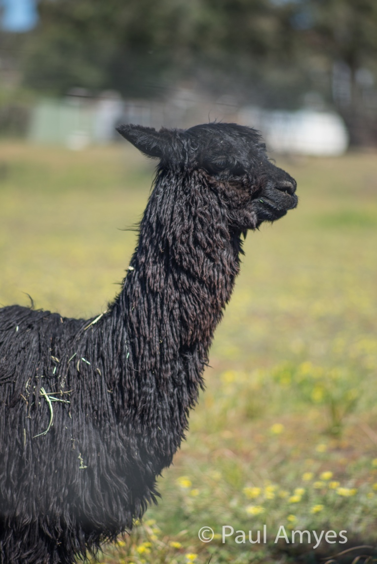 Subject isolation is what this lens is all about. Shooting at f4 through a chain link fence at this alpaca demonstrates this.